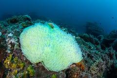 Λευκαμένα Anemone και Anemonefish στο Ειρηνικό Ωκεανό Στοκ εικόνα με δικαίωμα ελεύθερης χρήσης