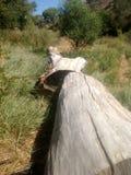 Λευκαμένο κούτσουρο από το περιορίζω δέντρο Στοκ εικόνες με δικαίωμα ελεύθερης χρήσης