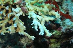 Λευκαμένο πετρώδες κοράλλι Στοκ φωτογραφία με δικαίωμα ελεύθερης χρήσης