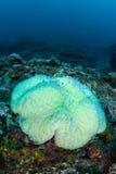 Λευκαμένο Anemone στο Ειρηνικό Ωκεανό Στοκ Εικόνα