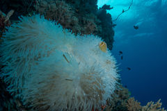 Λευκαμένο anemone Στοκ εικόνα με δικαίωμα ελεύθερης χρήσης