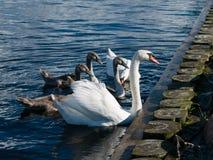 Λευκιά και γκρίζα οικογένεια του Κύκνου στο μπλε νερό Στοκ Εικόνες