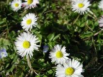 Λευκιά ομάδα μαργαριτών λουλουδιών Στοκ φωτογραφία με δικαίωμα ελεύθερης χρήσης
