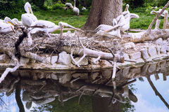 Λευκιά ομάδα πελεκάνων στη λίμνη με την αντανάκλαση Στοκ εικόνα με δικαίωμα ελεύθερης χρήσης
