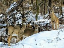 Λευκιά παρακολουθημένη οικογένεια ελαφιών μαζί στο χιόνι στοκ εικόνα
