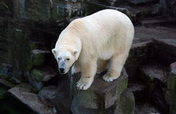 Λευκιά πολική αρκούδα, μαύροι βράχοι στοκ φωτογραφίες