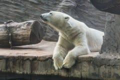 λευκιά πολική αρκούδα σε έναν ζωολογικό κήπο Στοκ Εικόνες