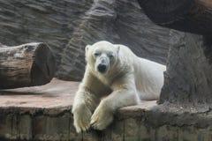 λευκιά πολική αρκούδα σε έναν ζωολογικό κήπο Στοκ φωτογραφία με δικαίωμα ελεύθερης χρήσης