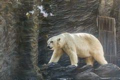 λευκιά πολική αρκούδα σε έναν ζωολογικό κήπο Στοκ φωτογραφίες με δικαίωμα ελεύθερης χρήσης