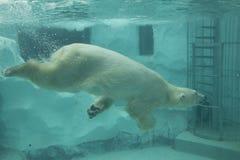 Λευκιά πολική αρκούδα Στοκ φωτογραφίες με δικαίωμα ελεύθερης χρήσης