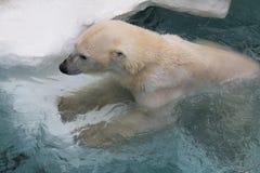 Λευκιά πολική αρκούδα Στοκ φωτογραφία με δικαίωμα ελεύθερης χρήσης