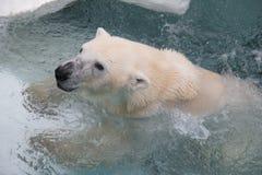 Λευκιά πολική αρκούδα Στοκ εικόνες με δικαίωμα ελεύθερης χρήσης