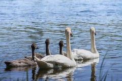 Λευκιά φιλική οικογένεια κύκνων στο μπλε νερό στην ηλιόλουστη ημέρα Στοκ Εικόνα