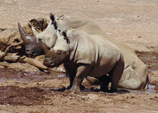 Λευκοί ρινόκερος και μωρό Στοκ Εικόνες