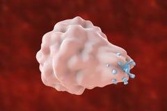 Λευκοκύτταρο που καταπίνει τον ιό Στοκ Φωτογραφία