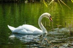 Λευκός δύτης του Κύκνου Στενό wiev στον άσπρο κύκνο με το κεφάλι του κάτω από το νερό Στοκ Εικόνα