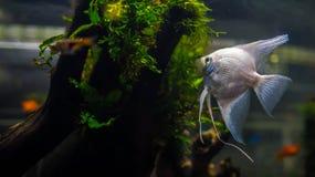 Λευκόχρυσος angelfish/ψάρια altum Στοκ φωτογραφίες με δικαίωμα ελεύθερης χρήσης