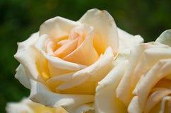 Λευκό, άνθιση τριαντάφυλλων κρέμας Στοκ Εικόνα
