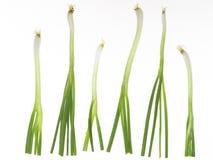 λευκό άνοιξη κρεμμυδιών ανασκόπησης Στοκ φωτογραφία με δικαίωμα ελεύθερης χρήσης