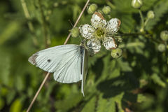 Λευκό λάχανων (brassicae Pieris) Στοκ Εικόνες