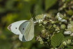 Λευκό λάχανων (brassicae Pieris) Στοκ Εικόνα