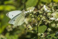 Λευκό λάχανων (brassicae Pieris) Στοκ εικόνα με δικαίωμα ελεύθερης χρήσης