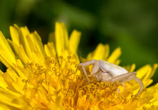 Λευκό λίγη αράχνη Στοκ Εικόνα