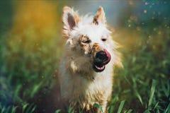 Λευκό λίγο σκυλί στον τομέα Στοκ Εικόνα