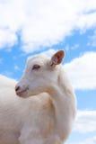 λευκό αιγών Στοκ εικόνα με δικαίωμα ελεύθερης χρήσης