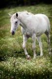 λευκό αλόγων Στοκ εικόνα με δικαίωμα ελεύθερης χρήσης