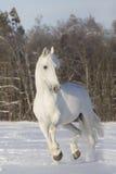 λευκό αλόγων Στοκ Εικόνες