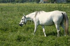 λευκό αλόγων στοκ φωτογραφίες με δικαίωμα ελεύθερης χρήσης