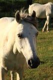 λευκό αλόγων Στοκ φωτογραφία με δικαίωμα ελεύθερης χρήσης