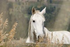 λευκό αλόγων Στοκ Εικόνα