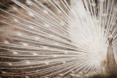 Λευκό αρσενικό peacock 1 Στοκ Εικόνα