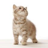 λευκό γατακιών ανασκόπησης Στοκ Εικόνα