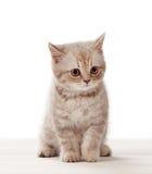 λευκό γατακιών ανασκόπησης Στοκ Φωτογραφίες