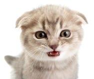 λευκό γατακιών ανασκόπησ& Στοκ Εικόνα