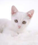 λευκό γατακιών γουνών Στοκ εικόνα με δικαίωμα ελεύθερης χρήσης