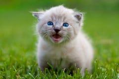 λευκό γατακιών χλόης Στοκ φωτογραφία με δικαίωμα ελεύθερης χρήσης