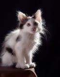λευκό γατακιών Στοκ εικόνες με δικαίωμα ελεύθερης χρήσης