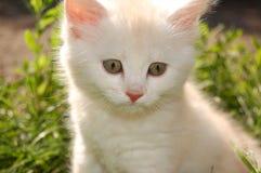 λευκό γατακιών στοκ εικόνα με δικαίωμα ελεύθερης χρήσης