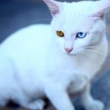 λευκό γατών Στοκ Φωτογραφία