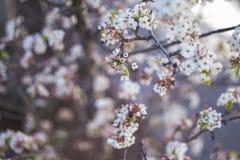 λευκό δέντρων άνοιξη λουλουδιών κλάδων Στοκ Φωτογραφία
