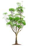 λευκό δέντρων ανασκόπησης Στοκ Εικόνες
