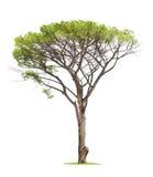 λευκό δέντρων ανασκόπησης Στοκ εικόνες με δικαίωμα ελεύθερης χρήσης