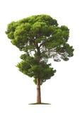 λευκό δέντρων ανασκόπησης Στοκ φωτογραφία με δικαίωμα ελεύθερης χρήσης