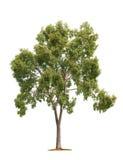 λευκό δέντρων ανασκόπησης Στοκ φωτογραφίες με δικαίωμα ελεύθερης χρήσης