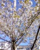 λευκό δέντρων κερασιών αν&th στοκ εικόνες με δικαίωμα ελεύθερης χρήσης