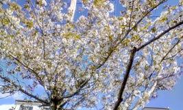 λευκό δέντρων κερασιών αν&th στοκ εικόνα με δικαίωμα ελεύθερης χρήσης